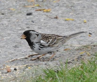 Harriss-Sparrow