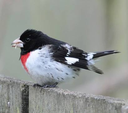 Rose-breasted-Grosbeak-3