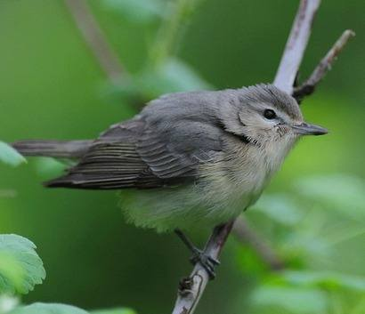 Warbling-Vireo-A