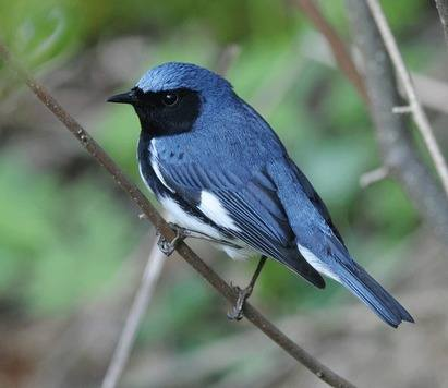 Black-throated-Blue-Warbler-A