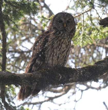 Pere-Davids-Owl Sichuan 2013 Tour
