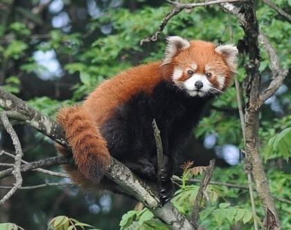 Red-Panda-2013