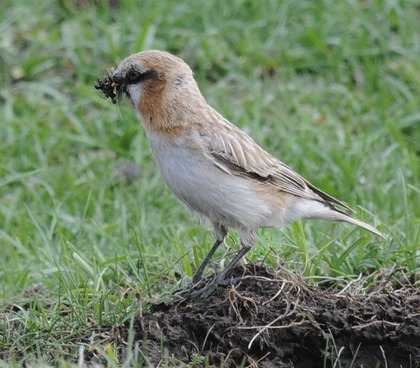 Rufous-necked-Snowfinch-2013