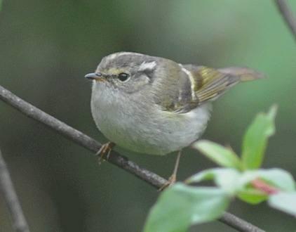 Sichuan-Leaf-warbler 2013
