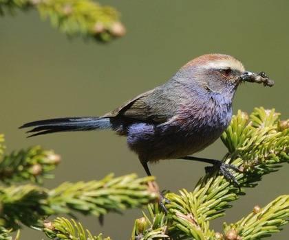 White-browed-Tit-warbler-2013