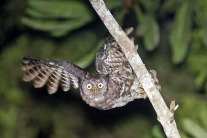 Akun Eagle Owl copyright Arthur Grosset