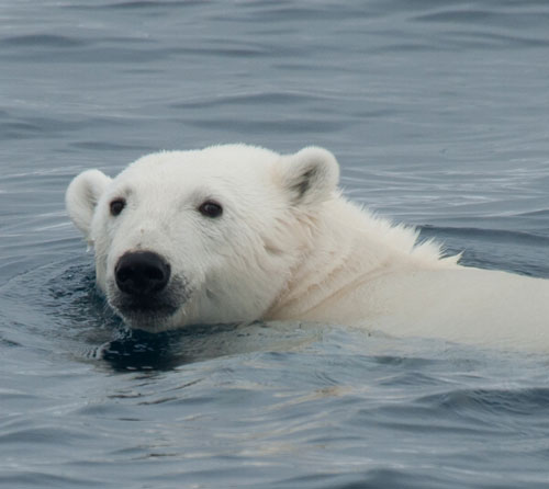 Polar-Bear-Head by Erwin Vermeulen