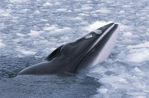Minke-Whale-by-Erwin-Vermuelen