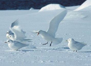 Ivory-Gulls-by-Erwin-Vermeulen