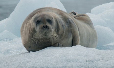 Bearded-Seal-by-Erwin-Vermuelen