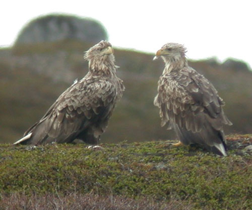 White-tailed-Eagles--by-Steve Bird