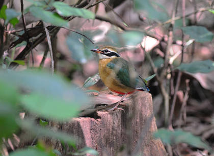 Indian Pitta - S India 2012