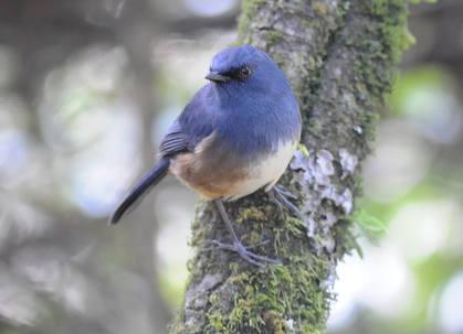 Nilgiri Blue Robin 1
