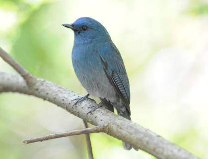 Nilgiri Blue Flycatcher