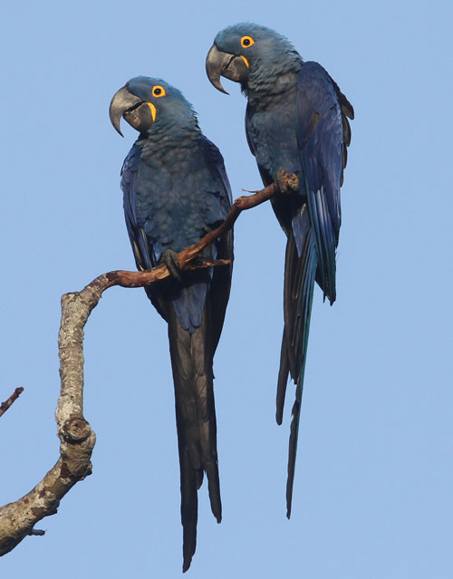 Hyacinth-Macaws-by-Steve-Bird