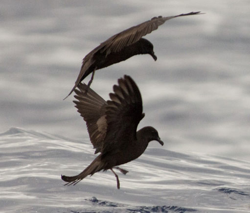 Bulwers-Petrel by Birds & Company