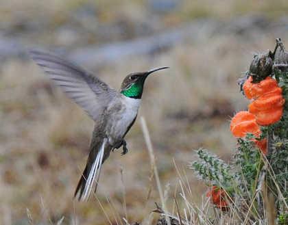 Andean Hillstar © Nick Bray