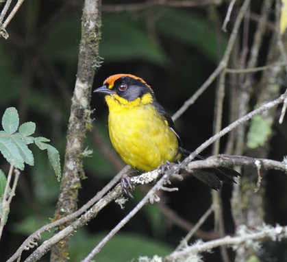 Bolivian Brush-finch © Nick Bray