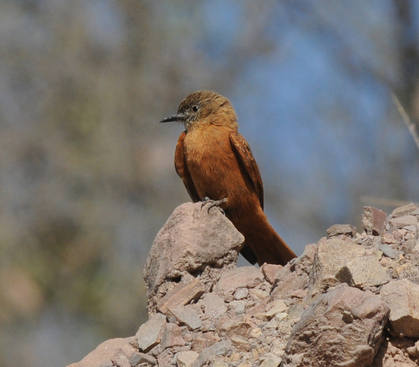 Cliff Flycatcher © Nick Bray