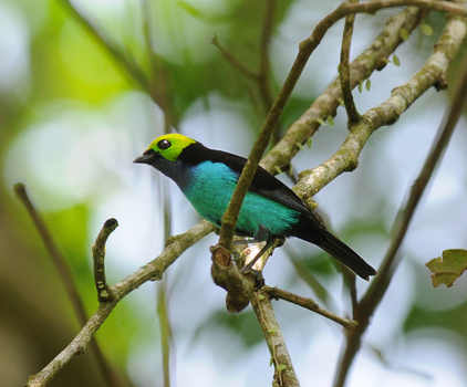 Paradise Tanager © Nick Bray