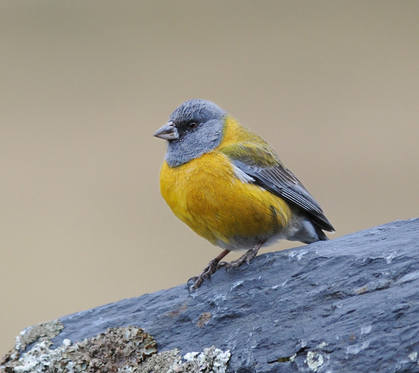 Peruvian Sierra-finch © Nick Bray