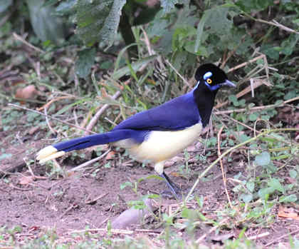 Plush-crested Jay © Nick Bray