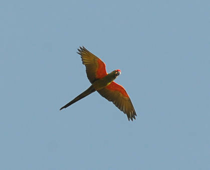 Red-fronted Macaw © Nick Bray