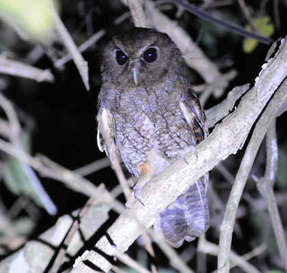 Rufescent Scops-owl © Nick Bray