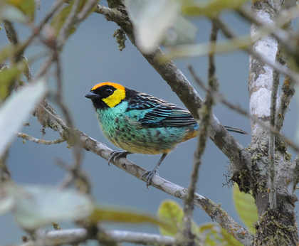 Saffron-crowned Tanager © Nick Bray