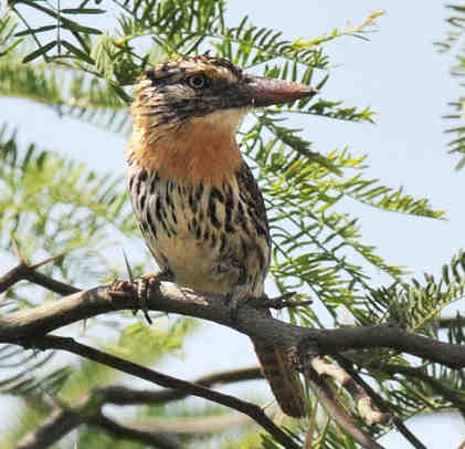 Spot-backed Puffbird © Nick Bray