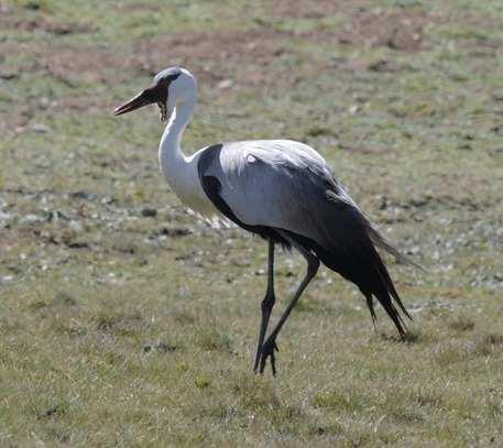 Wattled-Crane---Ethiopia-2013