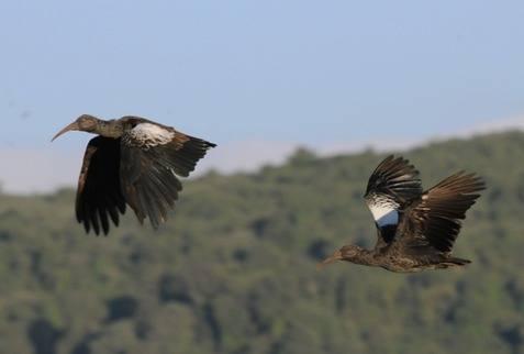 Wattled-Ibis---Ethiopia-2013