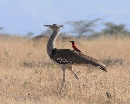 Kori-Bustard-Ethiopia 2013