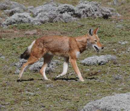 Simien-Wolf - Ethiopia 2013