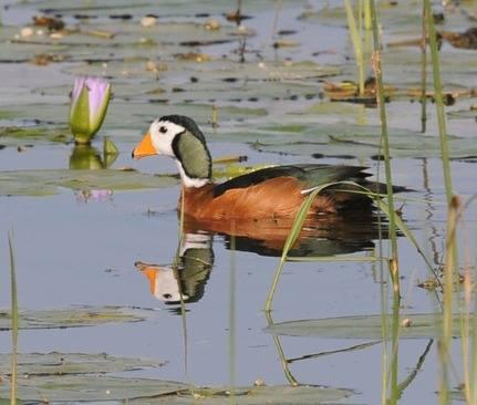 African-Pygmy-Goose - Ethiopia 2013