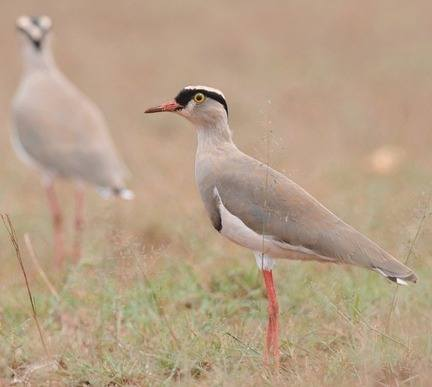 Crowned-Lapwing - Ethiopia 2013