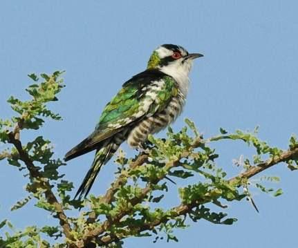 Diederik-Cuckoo - Ethiopia 2013
