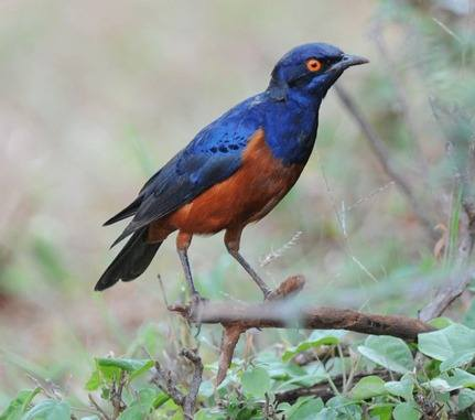 Shelleys-Starling - Ethiopia 2013