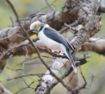 White-crested-Helmet-shrike - Ethiopia 2013