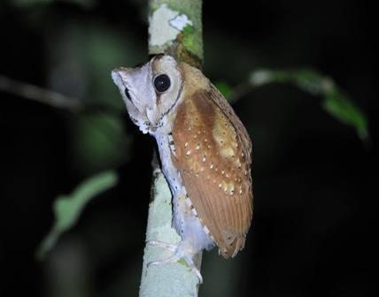 Oriental-Bay-Owl - Sumatra 2013 Tour