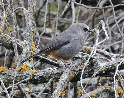 Abyssinian-Catbird Ethiopia 2013