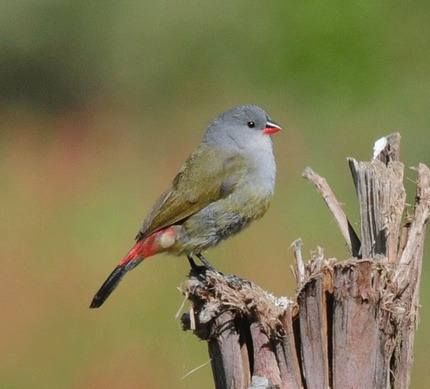 Yellow-bellied-Waxbill