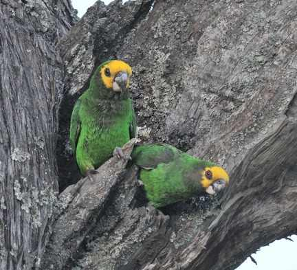 Yellow-fronted-Parrot