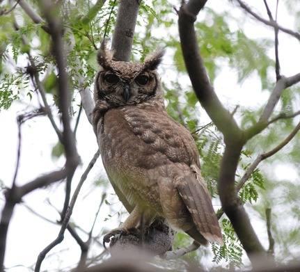 Grayish-Eagle-Owl