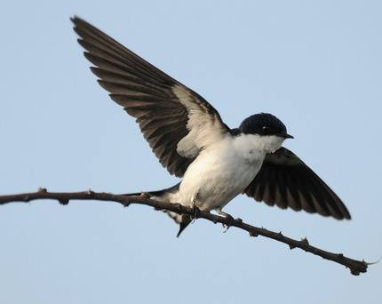 White-tailed-Swallow-Ethiopia 2013