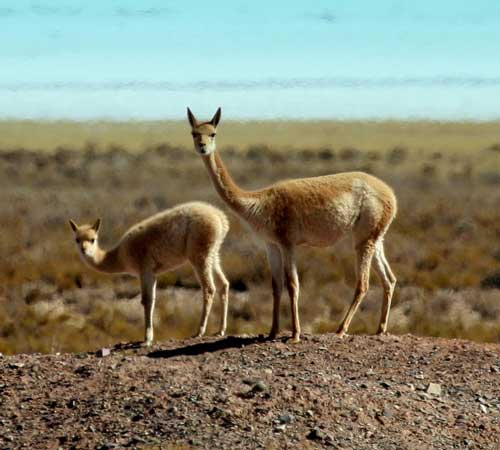 Vicunas-in-the-Pampas-by-Luis-Segura