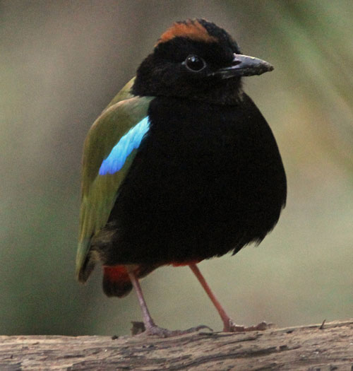 Rainbow-Pitta-by-Steve-Bird