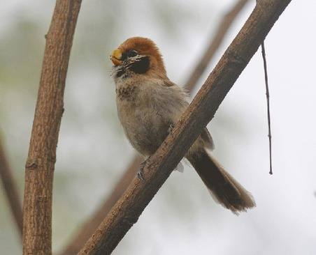 Spot-breasted-Parrotbill-Thailand 2014