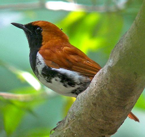 Amami-Robin-by-Pete-Morris-(Birdquest)