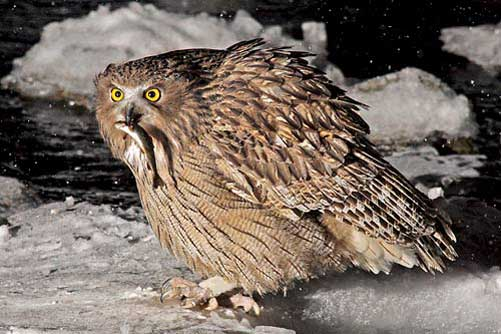 Blakistons-Fish-Owl-by-Pete Morris (Birdquest)